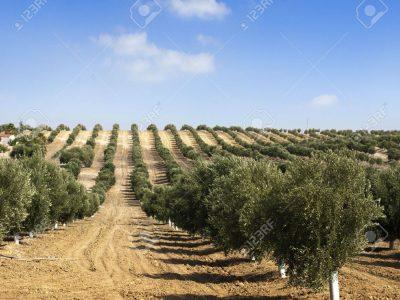 14930906-jeunes-oliviers-les-arbres-nouvellement-plantés-à-la-plantation