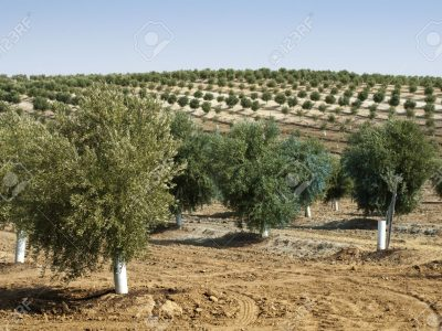 14930913-jeunes-oliviers-les-arbres-nouvellement-plantés-à-la-plantation