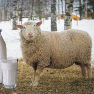 Sheep-milk-Benefits