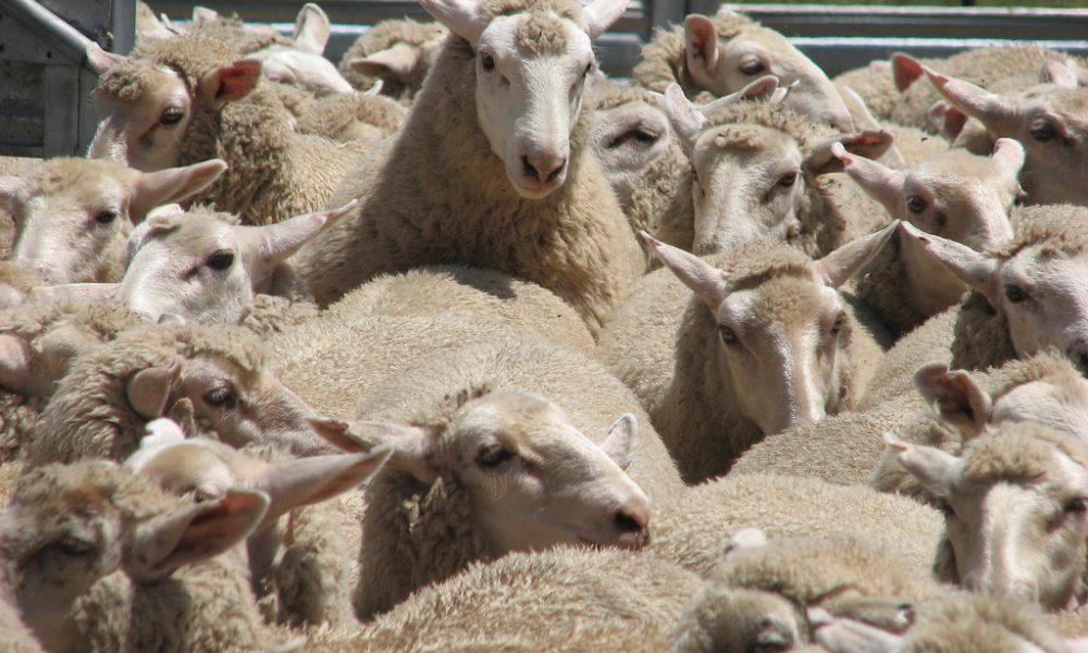 Sheep_mustering