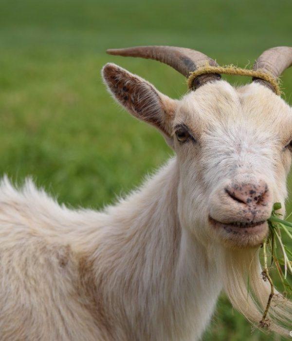 goat-1402613_1920