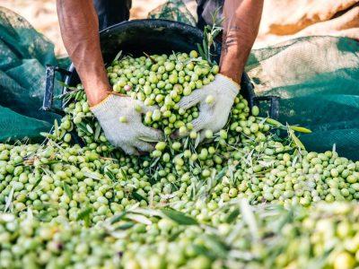 olive-harvest-puglia-2
