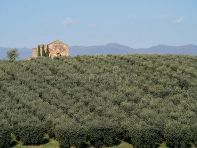 plantation-calabraise-d-olivier-90048881